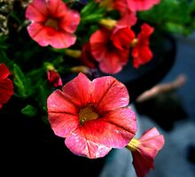 Red Petunias by Koon