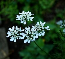 Parsley Flowers by Koon