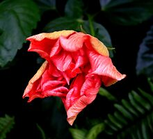 Hibiscus Flowering Bud by Koon