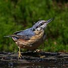 wet nuthatch by Nicole W.