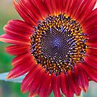 Red Sunflower by Ray Chiarello