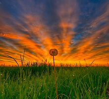 Dandelion Dawn 7220_13 by Ian McGregor