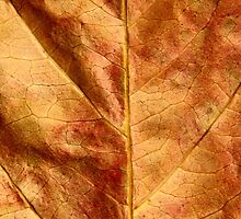 Botanical Close Up - Dry Autumn Leaves - Brown by sitnica