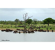 IN ABUNDANCE - THE BUFFALO - Syncerus caffer - BUFFEL Photographic Print