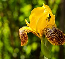 Gentle Yellow Iris by Yevgeni Kacnelson