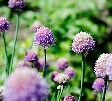 Allium flowers by Andrew Robinson