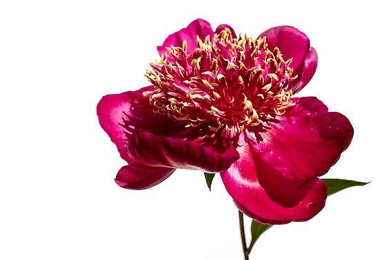 Edward Fielding     Portfolio     Red Peony FlowerRed Peony Flower