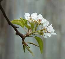 Pear Blossoms in April by Paraplu Photography