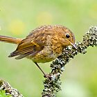 European Robin by Margaret S Sweeny