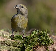 Female Common Crossbill by Peter Wiggerman