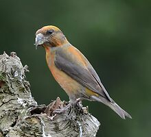Male Common Crossbill by Peter Wiggerman