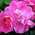 Governor General's Roses11 by Shulie1