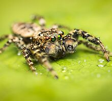 Marpissa muscosa male jumping spider with water drops by Mario Cehulic
