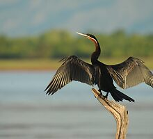 African Darter by Nick Hart