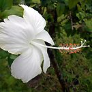 WHITE HIBISCUS  by TomBaumker