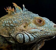 Iguana by Paraplu Photography