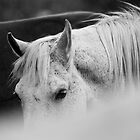 Arabian Horse Black and White by jamieleigh