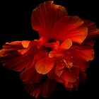 Hibiscus Series 1 by Koon