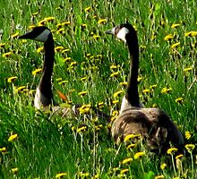 Canadian Geese babies lost in high grass by sevenfeathers