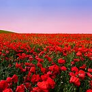 Poppies at sunset by Steve