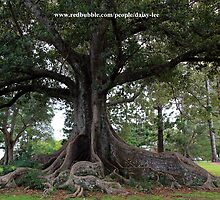 Moreton Bay Fig tree by daisy-lee