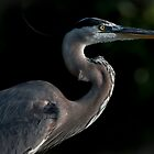 Great Blue Heron Profile by Joe Jennelle