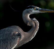 Great Blue Heron Profile by Joe Jennelle