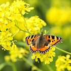 The Small Tortoiseshell Butterfly by Mark Hughes