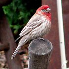 House Finch sitting on an ax handle by sevenfeathers
