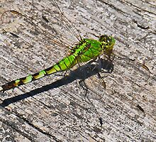 Green Dragonfly by Graeme  Hyde