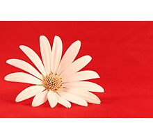 White flower in red background Photographic Print