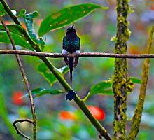 Mister Santa Pants II  Mindo Hummingbird by Al Bourassa