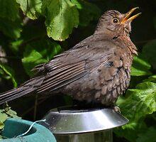Solar Powered Blackbird by lynn carter