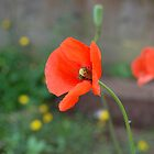 Poppy by lisa1970