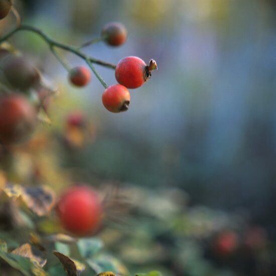 Rose hips by Urban Hafner