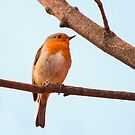 Erithacus rubecula, red chest bird, on a branch by Arve Bettum