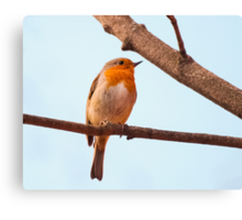 Erithacus rubecula, red chest bird, on a branch Canvas Print