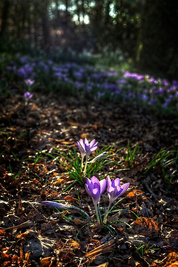 Crocuses - Mt Tomah NSW by Ian English