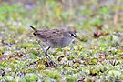 White Browed Crake taken Tyto Wetlands_Ingham by Alwyn Simple