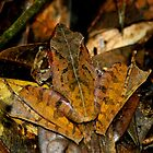 Leaf Tree frog  - gephyromantis  sculpturatus -  Ranomafana Madagascar by john  Lenagan