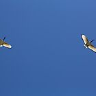 Pair of Ibis in Hout Bay South Africa by Ren Provo