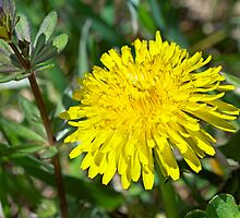 The Humble Dandelion - Taraxacum officinale by MotherNature
