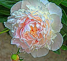 Peony on Canvas by Vickie Emms