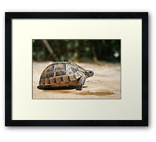 Sideview of A Walking Turkish Tortoise Framed Print