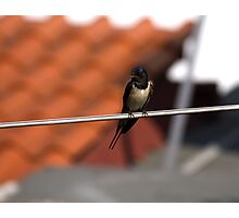 swallow Photographic Print
