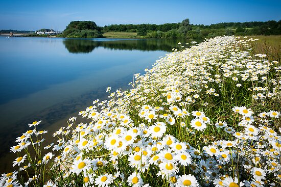 Daisies by the water by Ralph Goldsmith