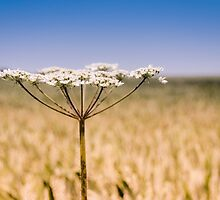 Cow Parsley by JEZ22
