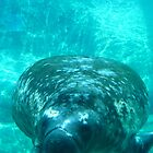 Columbus, OH: West Indian Manatee by ACImaging