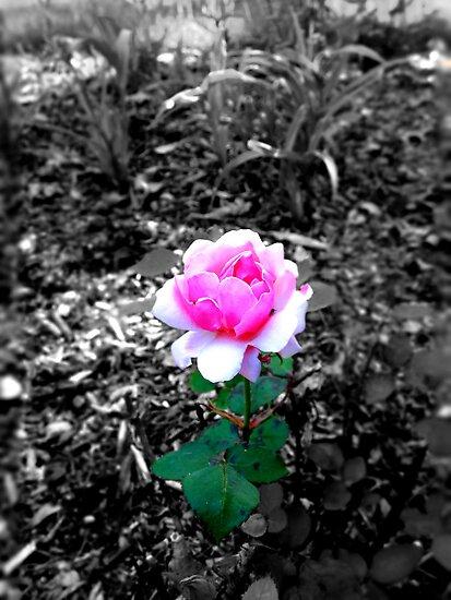 Columbus Oh Whetstone Rose Garden 1 By Acimaging