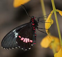Transandean Cattleheart Butterfly by hummingbirds
